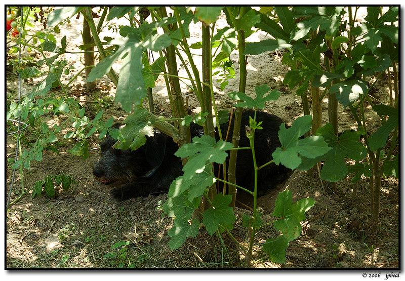 shelter amongst the okra (peewee)