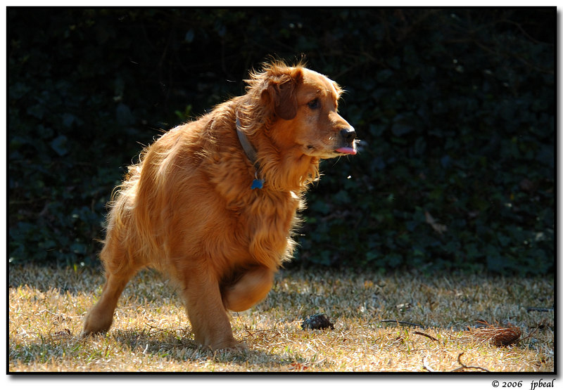 """Maggie, waiting for the ball.  this picture was <a href=""""http://carpelumen.smugmug.com/gallery/918908/1/61877878"""">Photo of the Day, 26 Mar 06.</a>"""