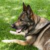 DSD_0165: Bonnie, the German Shepherd