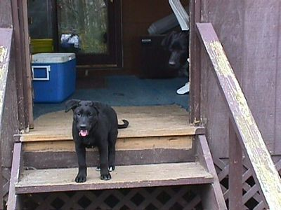 Charlie as a puppy (to the right); his sister Annie (from another litter) on the stairs. Charlie.
