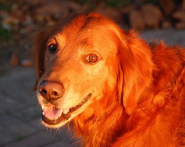 Jessie, the Red Retriever
