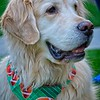 Moose, the cute Golden Retriever in Daybreak, South Jordan, Utah