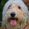 Bella, the cute Labradoodle. in Daybreak, South Jordan, Utah