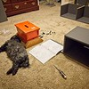 Frankie Beans helping me put some Ikea furniture together