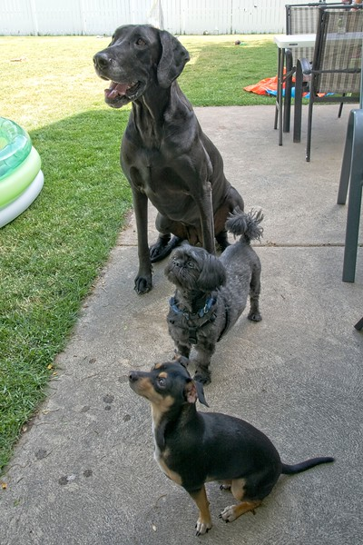 Freya, Frankie Beans and Arrow eagerly awaiting the 4th of July yummy treats!