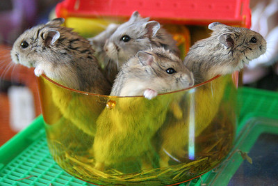 20090118 Hamsters at Home_7749 sm