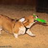 Frizbee Dog_20110827_101