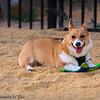 Frizbee Dog_20110827_071
