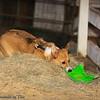 Frizbee Dog_20110827_104