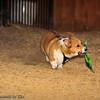 Frizbee Dog_20110827_100