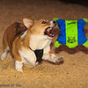 Frizbee Dog_20110827_116