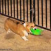 Frizbee Dog_20110827_090