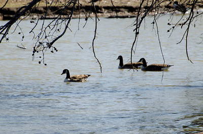 Nit Wit and Geese 2012026