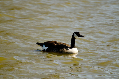 Nit Wit and Geese 2012032