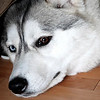Sleepy Siberian