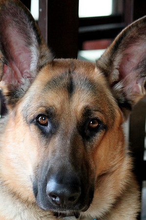 "German Shepherd Dog ""Maximus"""