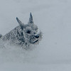 SRS05540: Tucker, the miniature schnauzer, powering through the snow.
