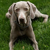 Meet Winston, the lovable Weimaraner.