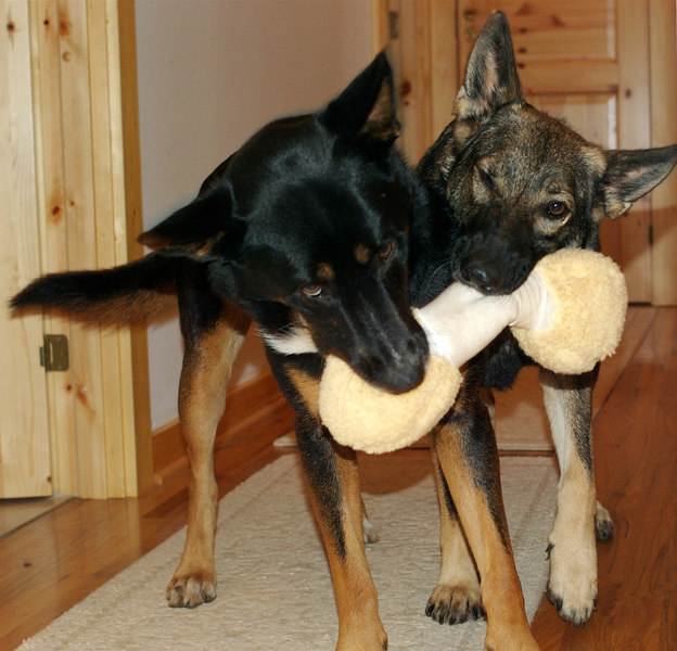 Mya and Chica wrestling over their XMAS present of 2006.  The stuffed bone did not last much longer after this picture was snapped!