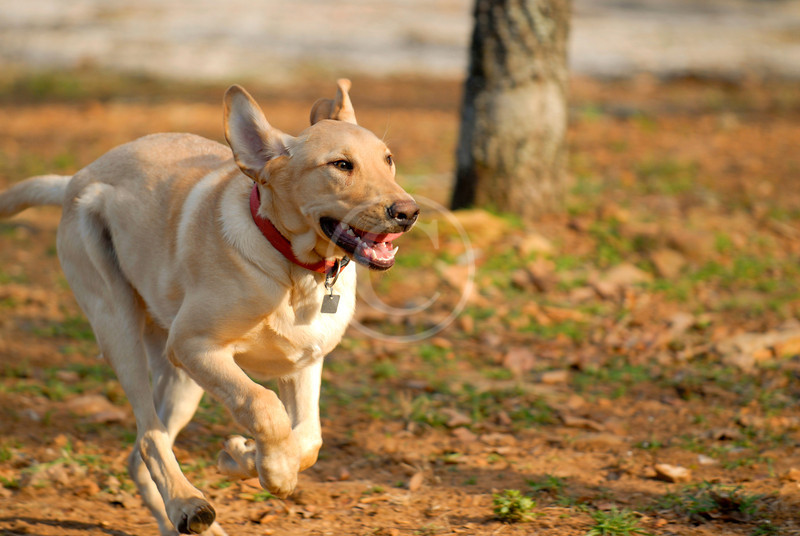 Yellow Labrador Retriever running