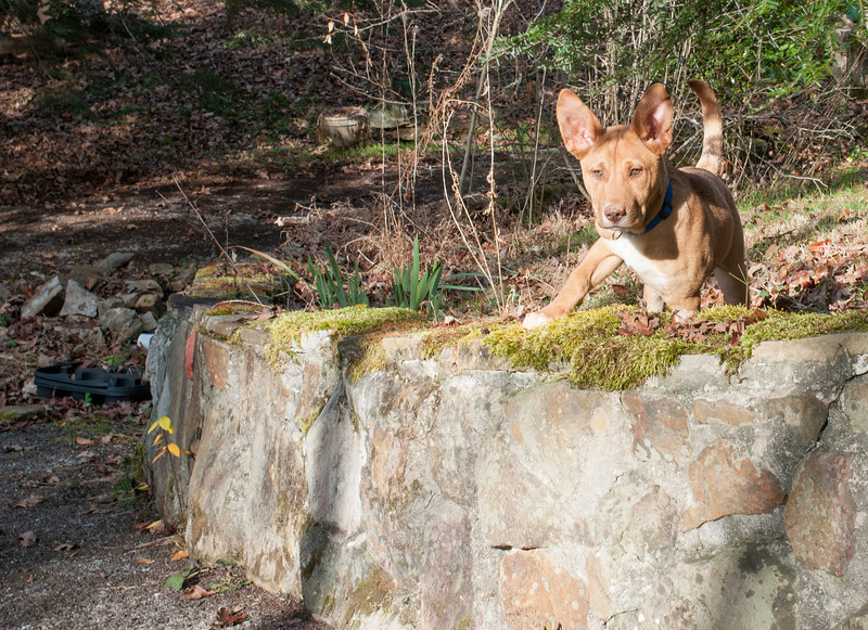 Sage prepares to leap off the stone wall, mountain lion style!