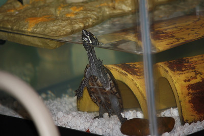This is Biff.  :-)  He's a common musk turtle that my son-in-law found and my wife has adopted as our 4th child.  haha