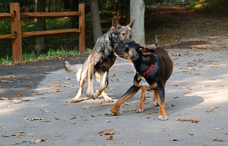 Chica and Mya playing tag.  Mya's faster, but Chica is more agile.