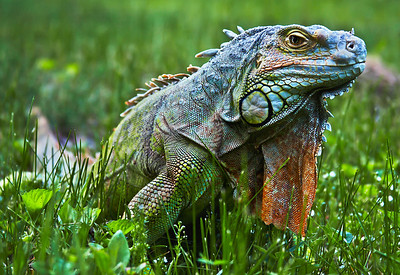 Lizzy the Iguana
