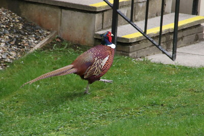 Pheasant in Pitlochry 2 April 2021