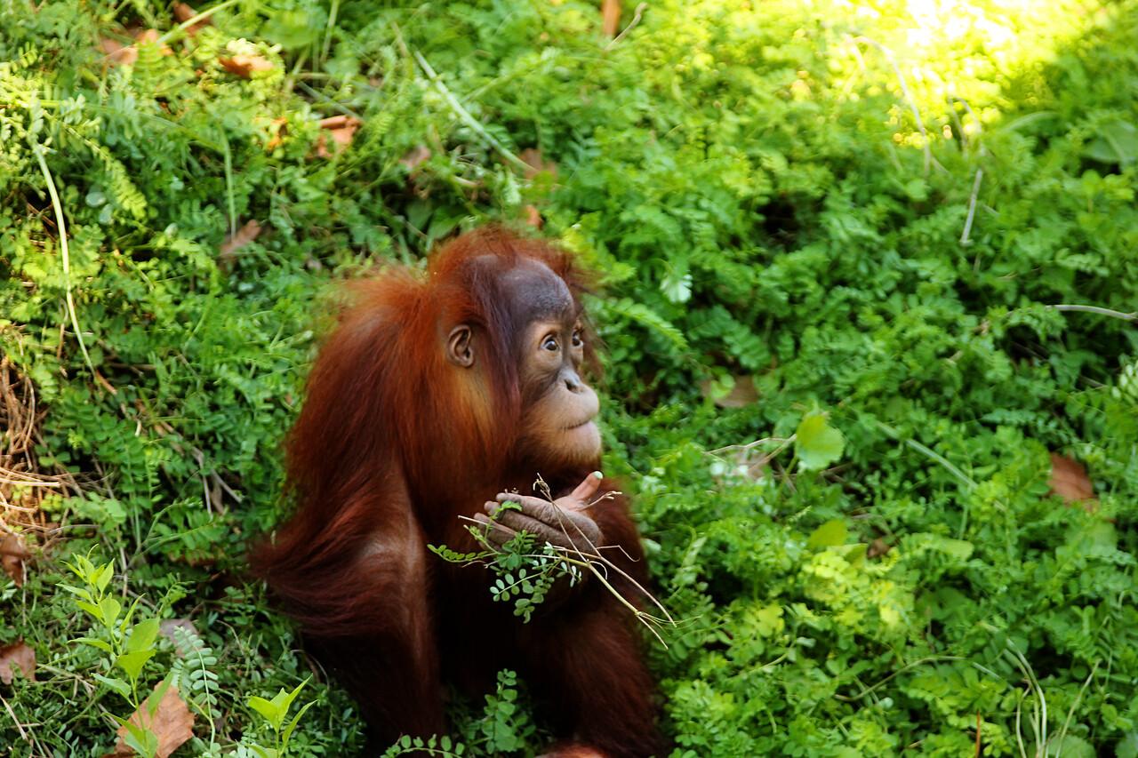 Batu-3 year old Orangutan at the Philadelphia Zoo.