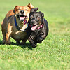 carmel and sophie...doxie/lab/corgi mix!  they are fun, rowdy and tenacious!