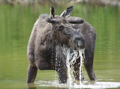 Photo Diary of a feeding bull moose