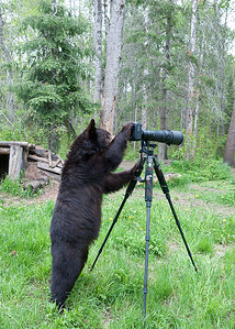 "Photo Bear - - This young black bear interrupted me as I was taking photographs of a sow and her three spring cubs in Orr, Minnesota.  She'd been observing me work for about forty-five minutes and, when her curiosity got the better of her, she tried  her newly learned photo technique.  One of the most memorable experiences I've ever had photographing wildlife.  I hope it was as thrilling for her as it was for me!  I would like to thank all of our ""viewers"" from around the world who have left comments about my ""photo"" friend.  Because I cannot respond to all the comments individually, let me try to hit some of the ""high"" points here:  (1)  no equipment was harmed during this adventure; while she tipped the tripod over, I was able to move forward a few steps and catch it before it crashed to the ground; (2) no fear was experienced by either bear or photographer; it was very cautious and educational experience for both of us; and (3), I hope to return to the area during the early Spring 2013 in the hope of reuniting with my friend; perhaps she can introduce me to her wild friends.  I am willing to make a number of limited edition prints available for sale.  If interested, email me for details."