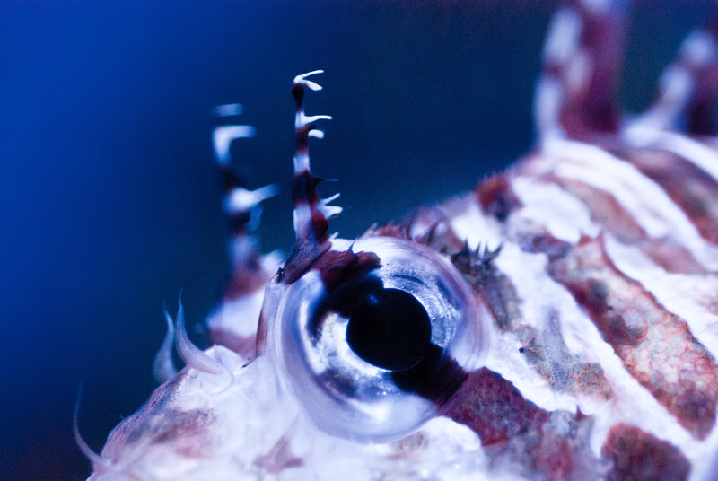 I like the good focus on the eye here, and of course the spiky horn things - on this lion fish.