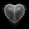 Half of this image is real. I noticed that it looked like half of a heart, so I went into photoshop and made it a whole heart.<br /> It's part of a jelly that seemed to close itself up like a venus flytrap. It was cool to watch.