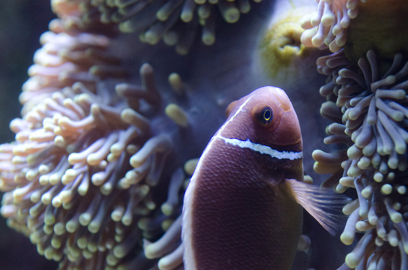 I love how the lighting really made this clownfish photo. It never strayed far from its anemone, but it was almost always moving, chasing away anything that got too close or lingered too long.