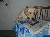 tulip reading the paper after 6 months with  us.  A smart dog!