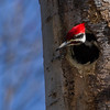 Grand Pic, Pileated Woodpecker