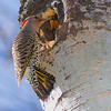 Pic Flamboyant, Nothern Flicker