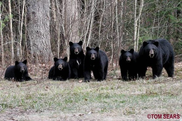 Big momma 8-10 months later in early spring still with her 5 bigger bear cubs. All are still doing very well. photo by tom Sears