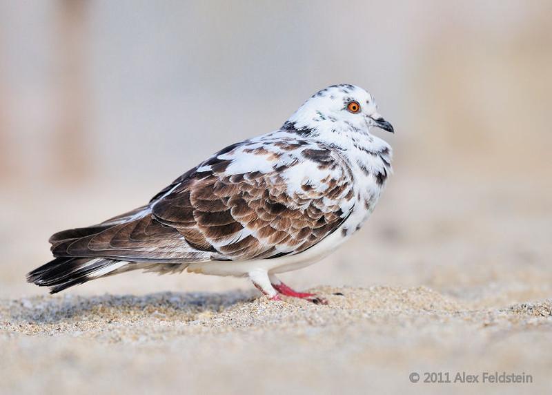 Pigeon<br /> Haulover Cut, FL