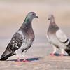 Pigeons<br /> Haulover Cut, FL