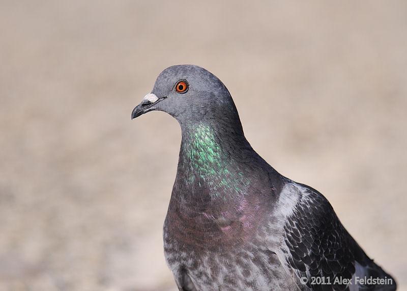 PigeonPigeon<br /> Haulover Cut, FL