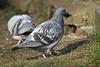 Duiven / Pigeons