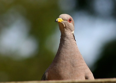Pigeons,Quail  and Herons