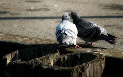 Pigeons,Quail  and Herons (new)