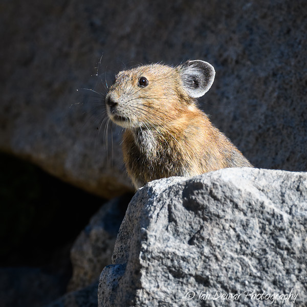 Pika watching for trouble