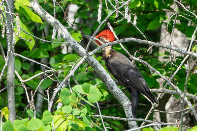 """Adult Pileated"""