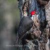 Pileated-Hawk-Bluebird-18-March-2017-9985