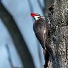 Pileated-Hawk-Bluebird-18-March-2017-9982